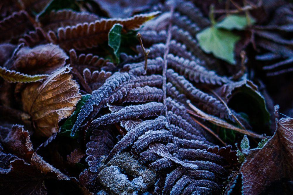 Farn im Winter